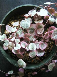 """Variegated Ceropegia Woodii – """"String of Hearts"""" Succulent """"Rosary Vine"""" 