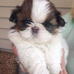 Shih Tzu puppy... Ceili