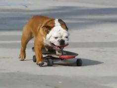 So, this bulldog can skateboard. When will he hit the half-pipe?