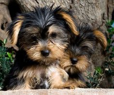 Yorkshire-Terrier #YorkshireTerrier