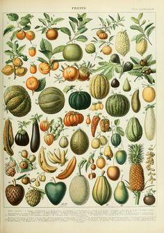 Adolphe Millot illustrations of fruits for Nouveau Larousse illustré