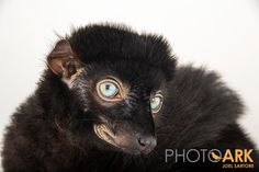 Presley the blue-eyed black lemur peers into the camera during a portrait session with National Geographic photographer Joel Sartore.