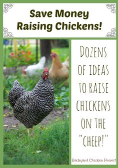 Raising chickens can be costly, here's dozens of ideas on how to save money raising chickens.