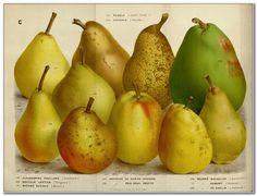 European pear varieties-3