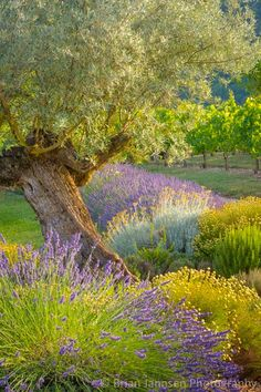 Olive tree in a French garden with lavender