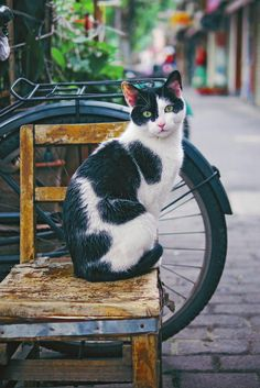 A collection of cute animals and stuff from around the web, they are all cute and they are all Wuvely Pretty Cats, Beautiful Cats, Animals Beautiful, Cute Animals, I Love Cats, Crazy Cats, Cool Cats, Gatos Cats, Photo Chat