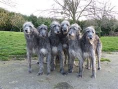Oh noble, yet also faintly comical beasts. The Scottish deerhound sixpack.