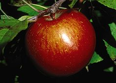 Malus 'Haralson' - Haralson Apple