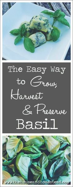 Learn how to grow basil from seed, how to maximize your harvest and how to preserve basil in ice cube trays to use in your kitchen all year long.