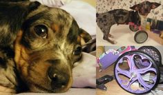 Meet Bubbles, the 2-Legged Dapple Dachshund Dog Saved by 3D Printing | Never Give Up on a Disabled Pet