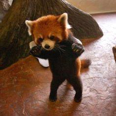 Fire fox/red panda