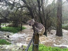 'A koala soaked by floodwaters sits atop a fence post to escape the deluge in the town of Stirling in the Adelaide Hills of South Australia, September Photographer: Russell Latter x [OS] -- OPENPICS. Medan, Stirling, Minions, Buy Youtube Subscribers, Australian Bush, Australian Animals, Wild Weather, South Australia, Autumn Trees