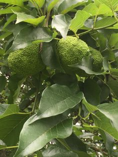 Osage Orange - Branch/Fruit