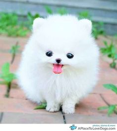 White Teacup Pomeranian Puppy.....when I saw this I automatically thought of my little beeeeeeeeach <3