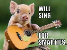 This guy who is ready to impress with his great guitar skills. Perhaps the new John Mayer of micro pigs. 22 Micro Pigs Who Are Having A Better Day Than You Cute Baby Animals, Funny Animals, Cute Baby Pigs, Super Cute Animals, Animal Memes, Tiny Pigs, Small Pigs, Animal Pictures, Funny Pictures