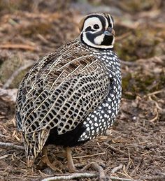 Montezuma Quail. (Cyrtonyx montezumae) Birding in the Gila - NM Tourism. The Montezuma quail is a stubby, secretive New World quail of Mexico and some nearby parts of the United States. It is also known as Mearns's quail, the harlequin quail, and the fool quail