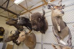 Business, Nature, Netherlands - The Dutch government is further restricting hunters from importing their trophies to the Netherlands. The list of banned trophies was extended to also include the species white rhino, elephant, hippo, cheetah, polar bear and lion - hunting, hunting trophies, hunting trophy ban, Martijn van Dam, Ministry of Economic Affairs, trophy hunting