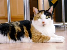 The beautifully marked Calico cat