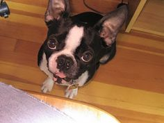 Sweet little Boston terrier had cancer. Click to read his story.