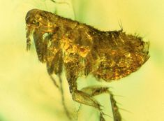 Amber encases a flea infected 20 million years ago with bubonic plague-type bacteria