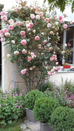 Beautiful Gardens, Beautiful Flowers, Back Gardens, Outdoor Gardens, Tiny Garden Ideas, Front Door Christmas Decorations, Rose Garden Design, Rose Trees, Climbing Roses