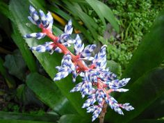 images about Bromeliads ,orchids and Pineapple plants are my . Flower Pictures, Pictures Images, Pineapple Planting, Online Florist, Air Plants, Flowering Plants, Flowers Online, Garden Trees, Types Of Flowers