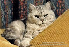 Gato British Shorthair (Británico de pelo corto) tabby plateado (silver shaded)