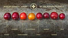 Coffee cherries, types and varietals...