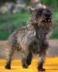 A Kansas state representative is pushing a bill to give the cairn terrier, the breed that played Toto in The Wizard of Oz, the Sunflower State's official endorsement
