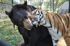 """Atlanta - After they rescued the three, bear cub, tiger and lion babies, they were taken to the """"Noah's Chest"""" Animal Sanctuary, where their workers decided not to separate the little ones."""