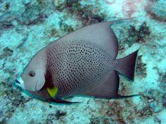 grey angelfish (Pomacanthus arcuatus), tropical western Atlantic