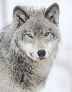 Beautiful Wolf By Denis Dumoulin.