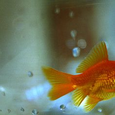 Koi diseases how can you tell if you have a sick fish for Sick koi fish