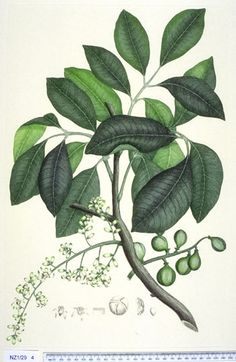 Dysoxylum Spectabile --- New Zealand - Curtis's bot. 2350 The Endeavour botanical illustrations - Technical Illustration, Paper Illustration, Nature Illustration, Botanical Drawings, Botanical Prints, Plant Drawing, Fauna, Trees To Plant, Natural History