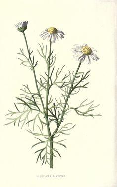 Veronica-Decor: Familiar wild flowers 2