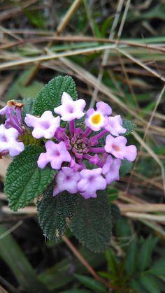 #flower #pedragrande #natureza #nature #montanha #atibaia #saopaulo #brasil #trip #turismo #malcardoso