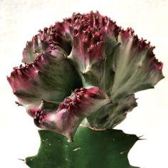 多肉植物・ユーフォルビア・ラクテア Euphorbia lactea f.cristata|flowers-fantasia|06
