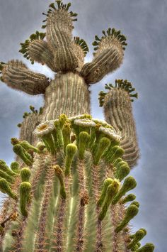 Giant Saguaro Cactus in Bloom pinned with Bazaart  No. 126