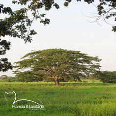 Los árboles nativos brindan sombra y belleza en nuestras #HaciendasFranciaYLusitania #Montería #Ganadería #AmorporelBrahman #Colombia #Pasion @asocebu @fedegan