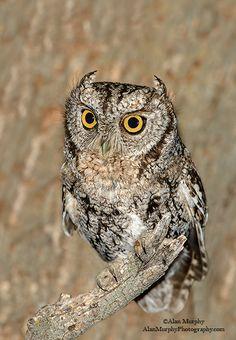 Whiskered Screech Owl   Whiskered Screech-Owl 7 - Pima Co, AZ - May