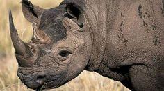 Petition   Dallas Safari Club: Stop Auction to Kill Endangered Black Rhino. · Change.org