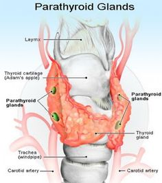 Symptoms Of Thyroid Disease The thyroid gland is responsible for the metabolism of every cell in the body. Whenever the thyroid gland is overactive or underactive, signs and symptoms of thyroid disease will occur. Thyroid Gland, Thyroid Health, Health Foods, Parathyroid Disease, Bone Diseases, Underactive Thyroid, Thyroid Problems, Cardiac Problems, Science