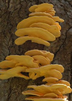 Identifying Edible Mushrooms. Chicken of the Woods