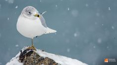 2013 NH Snowy Winter Trip - Seagull in the Snow - Deremer Studios Photography - Jacksonville Florida - Check out our websites: http://pro.deremerstudios.com (Deremer Studios Pro Commercial Photography) and www.deremerstudios.com (Wedding and Portrait Photography), and our blog www.deremerstudios.wordpress.com!