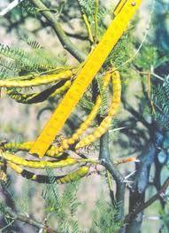 Vaina del algarrobo dulce (Prosopis flexuosa) donde está su semilla Sofía Aciar