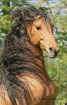 Fabio of horses Most Beautiful Horses, All The Pretty Horses, Animals Beautiful, Horse Photos, Horse Pictures, Animals And Pets, Cute Animals, Draft Horses, Breyer Horses