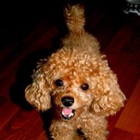 View the 400 best Toy Poodle Photos,  Toy Poodle Images,  Toy Poodle Pictures. Download photos or share to Facebook, Twitter, Tumblr, Blogger