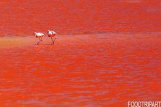 #laguna #colorada #Bolivia #flamands #roses, #red #rouge