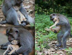 A foto mostra um curioso caso onde um macaco selvagem adotou um gato que estava abandonado e perambulava pelas florestas em Bali, na Indonésia