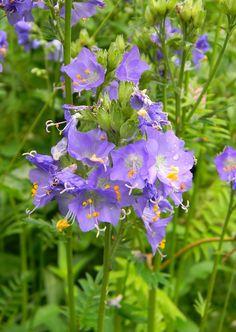 Polemonium caeruleum- lehtosinilatva. Korkeus 25 - 50, kukkii 7 - 8.